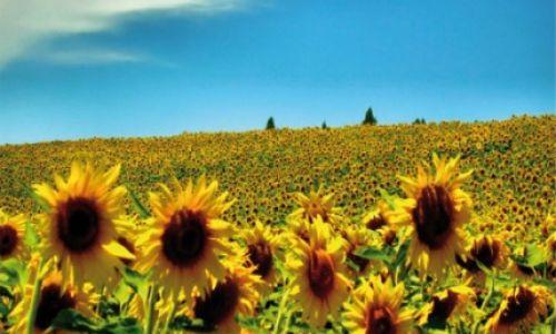 Sunflower Chiana Valley